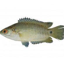 koi fish process ( 10-12 ) 1 kg