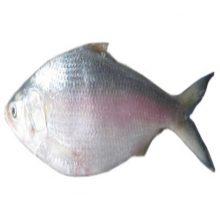 hilsha ex large ( 1kg+) 1 kg