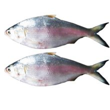 Hilsha fish 800gm+